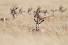 Springbuck Royalty Free Stock Images