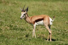 Springbuck Antelope Stock Photo