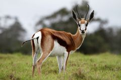 Springbuck Antelope. Beautiful male springbok antelope in the green grass Stock Image