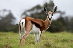 Springbuck Antelope Stock Image