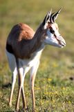 Springbuck Antelope. Springbuck gazelle with alert ears and curved horns Stock Photography