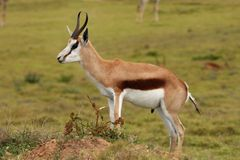 Springbuck Antelope Portrait. Portrait of an alert springbok antelope from South Africa Stock Photography