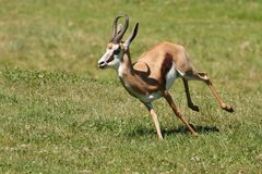 Springbuck Antelope Running. Springbuck antelope from Africa running across the green grass Stock Image