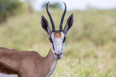 Springbuck close up Stock Photography