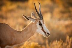 Springbuck ewe in golden light royalty free stock images
