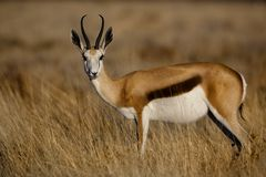 Springbuck female, Namibia Royalty Free Stock Images
