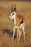 Springbuck female in soft morning light Royalty Free Stock Photo
