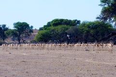 Springbuck Herd Stock Photos