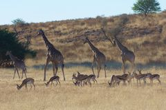 Springbuck-Herde und Giraffen Lizenzfreies Stockbild