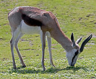 Springbuck 2 Royalty Free Stock Photos