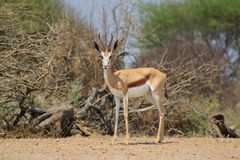 Springbuck - Lonely Lonesome Royalty Free Stock Photography