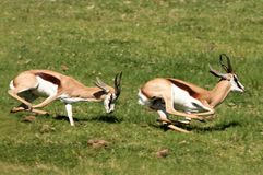 Springbuck Male Aggression. Two male springbuck antelope chasing each other to compete for females Royalty Free Stock Photography