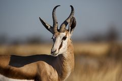 Springbuck male, Namibia Stock Photos