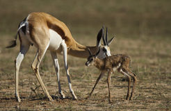 Springbuck mother and calf Stock Photo