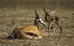 Springbuck mother and calf Stock Images