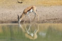 Springbuck - Reflection of Mother Royalty Free Stock Photos