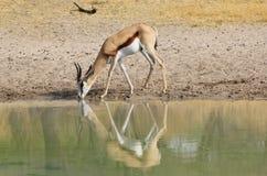 Springbuck - reflexion av modern Royaltyfria Foton