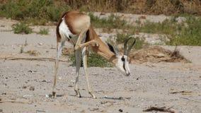 Springbuck. Scratching Kaokaland Namibia desert Stock Photo
