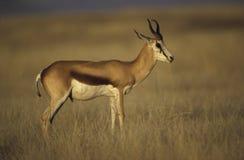 Springbuck or Springbok,  Antidorcas marsupialis Stock Images