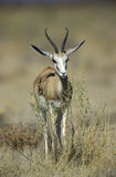 Springbuck or Springbok,  Antidorcas marsupialis Stock Photos