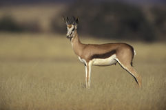 Springbuck or Springbok,  Antidorcas marsupialis. Single mammal, Namibia Royalty Free Stock Photos