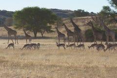 Springbuck y jirafa Foto de archivo libre de regalías