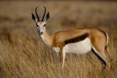 Springbuckfrau, Namibia lizenzfreie stockbilder