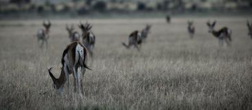 Springbucks de Kalahari Images libres de droits