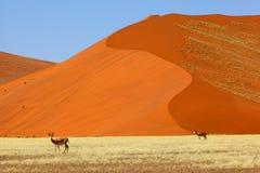 Springbucks в Namib Naukluft NP Стоковая Фотография RF