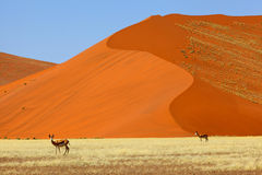 Springbucks in Namib Naukluft NP Royalty Free Stock Photography