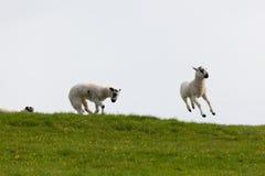 Springen der Frühlingslämmer Stockfoto