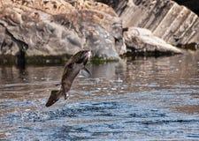 Springen der Lachse Stockfotos