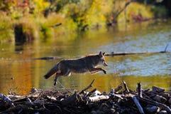 Springen des Kojoten Stockfoto