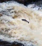 Springen von Lachsen Stockfoto