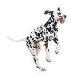 Springend Dalmatische geïsoleerde hond Royalty-vrije Stock Foto's