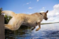 Springend Labrador Royalty-vrije Stock Foto