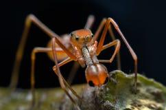 Springend spin - het Mannetje van Myrmarachne plataleoides Royalty-vrije Stock Afbeeldingen