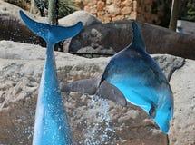 Springende Blauwe Dolfijnen op een zonnige dag bij een aquarium Royalty-vrije Stock Afbeeldingen