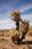 Springende Cactus Cholla Stock Fotografie