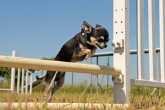 Springende Chihuahua Lizenzfreies Stockbild
