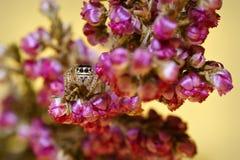 Springende die Spinfamilie Salticidae die, en in de bloemen wordt verborgen buigen Stock Afbeelding