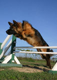 Springende Duitse herder Royalty-vrije Stock Fotografie