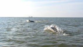 Springende en zwemmende dolfijnen in de Zwarte Zee stock footage