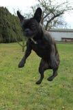 Springende französische Bulldogge stockfoto