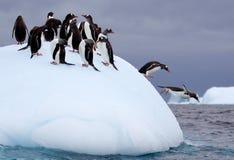 Springende Gentoo-Pinguine Stockbild