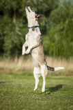 Springende Hoge Hond Royalty-vrije Stock Afbeelding
