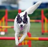 Springende Hond Royalty-vrije Stock Fotografie