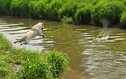 Springende hond Royalty-vrije Stock Afbeelding
