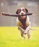 Springende hond Royalty-vrije Stock Afbeeldingen