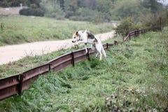 Springende Hond stock foto's